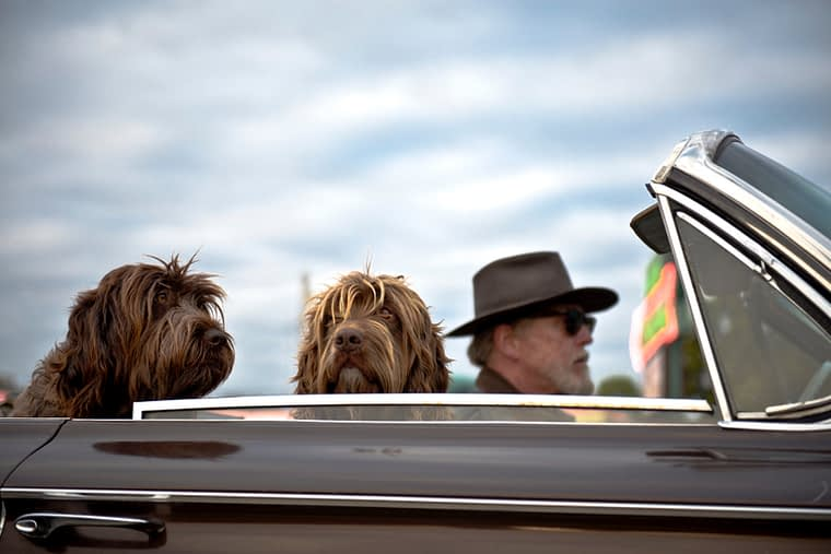 man driving with dogs in car