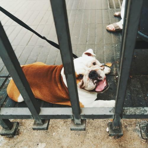 bulldog dog bite injuries photo